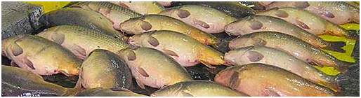 Picture of dead illegally imported carp